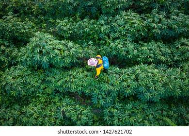 tapioca farm and farmer are spraying kill grass in agricultural farmland in Thailand aerial view frone