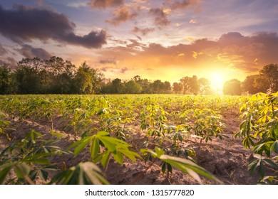 Tapioca farm, potato farm, tapioca plantation, agriculture background.
