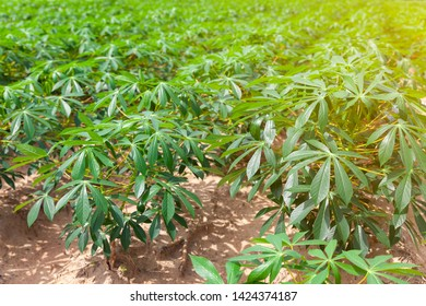 Tapioca fields on natural background. Grow cassava. Season of planting cassava. Mixed garden between cassava and rubber trees. Concept of planting cassava.