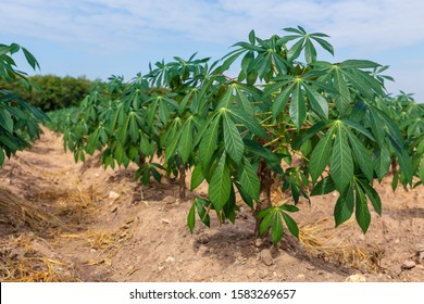Tapioca fields on natural background. Grow cassava. Season of planting cassava. preparing for Cassava field planting. Bunches of breeding sapling of cassava in the plantation.