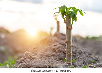 Tapioca fields on natural background, Grow cassava, Season of planting cassava, Summer agriculture, Cassava seedlings, tree Manioc, Ubikayu, Sampeu.