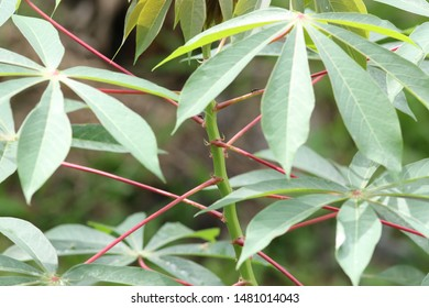Tapioca plant close up tree
