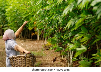 Tapioca plantation tended by manual worker.