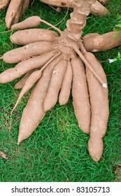 Tapioca Plants Cassava. closeup Useful as background for design-works.