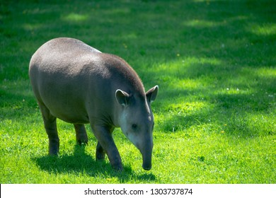 tapir on grass meadow
