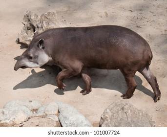 Tapir in the open area