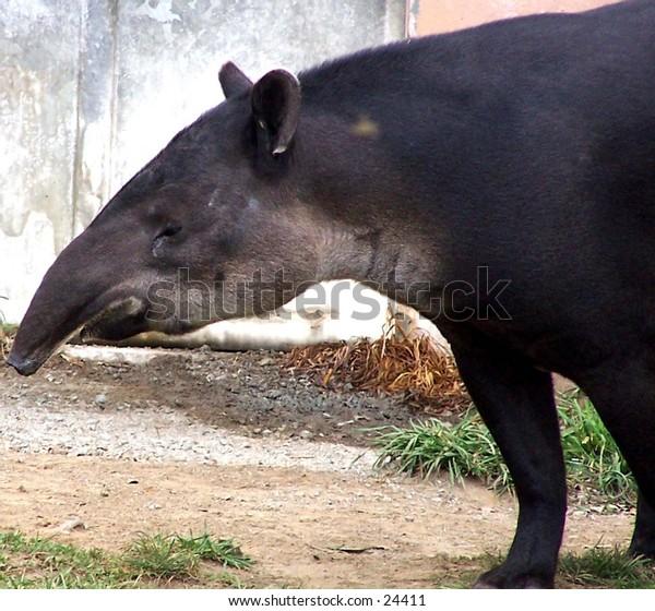 Tapir at the SF Zoo