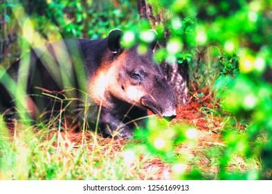 Tapir, Tapirus bairdii, Belize City Zoo, Belize
