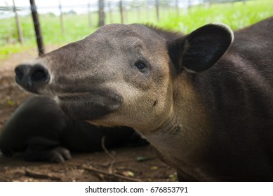 A tapir (Tapirus bairdii) is a large browsing mammal, similar in shape to a pig, with a short, prehensile snout.