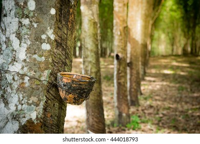 Tapping latex from a rubber plantation thailand.