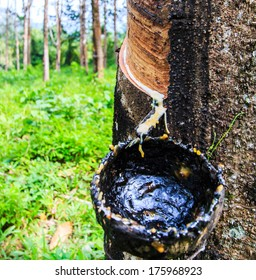 Tapping latex from a rubber tree asia Thailand
