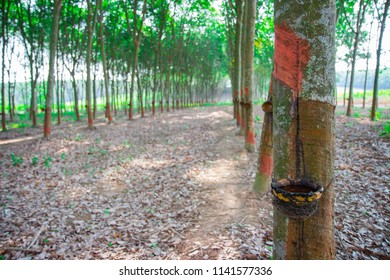 Tapping latex rubber tree, Rubber Latex extracted from rubber tree.