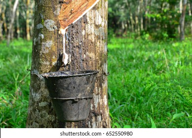 Tapping latex from rubber tree  (Hevea Brasiliensis) at Malaysia.