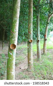 Tapping latex from a rubber tree at Thailand