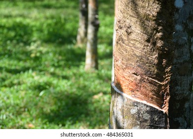 Tapping latex or sap from a rubber tree.