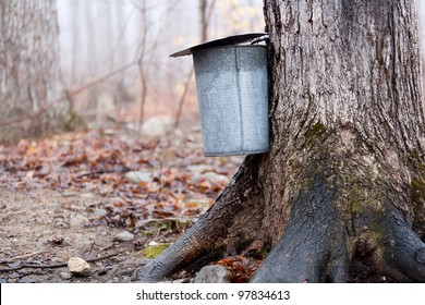 Tapping maple trees for sap to make maple syrup