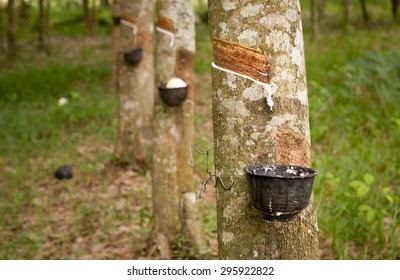 Tapping sap from the rubber tree.