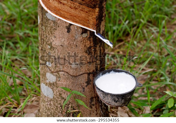 Tapping Sap Rubber Tree Stock Photo Edit Now 295534355