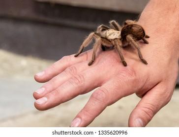 A tarantula crawls on the hand of a nervous volunteer at an educational program in an animal park.