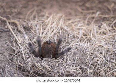 A tarantula disappears down its' hole in the parched Oklahoma ground