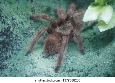 Tarantula Goliath birdeater (Theraphosa blondi), largest spider in the world by mass and size belongs to the tarantula family Theraphosidae.