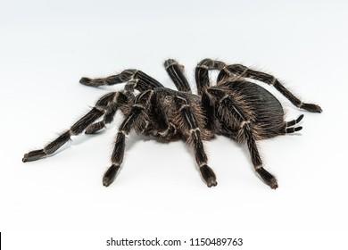 Tarantula Grammostola porteri isolated on white background