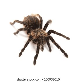 Tarantula isolated on a white background