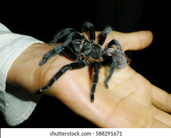 Tarantula on hand, overcoming fear of spiders