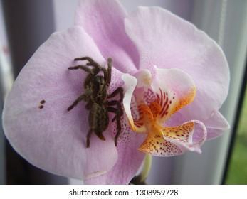 tarantula on orchid