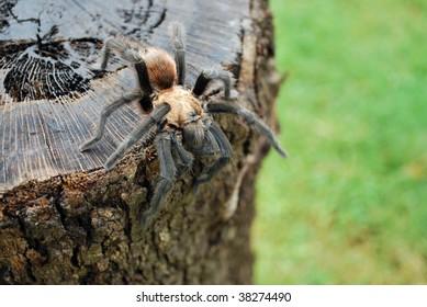 Tarantula on a tree stump.