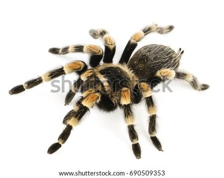Tarantula Ready Attack Foto de stock (editar ahora)690509353 ...