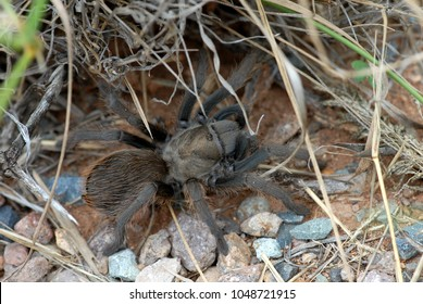 A tarantula as seen crawling around on the ground under grass and twigs from Arizona.