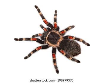 Tarantula spider, Brachypelma Boehmei, on white background