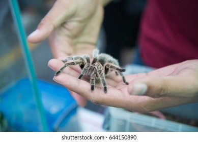 Tarantula spider on the hand, pet