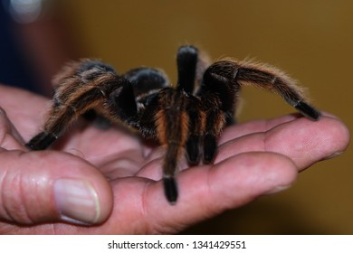 Tarantula spider on a human palm