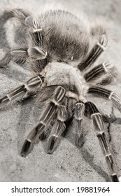 A tarantula stands defensively on the dirt
