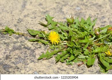 Taraxacum dandylion flower growing between the crack in two pavi