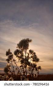 Taraxacum during sunset at Inner Mongolia