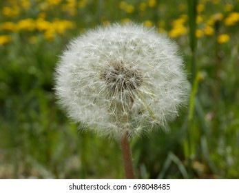 Taraxacum officinale, better known as Dandelion, ready to be blown.