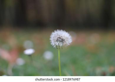Taraxacum officinale or a dandelion