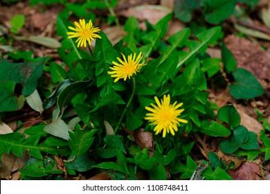 Taraxacum platycarpum (Kanto tanpopo) - Shutterstock ID 1108748411