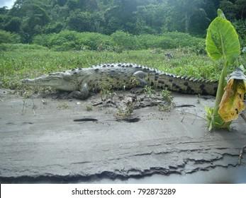 Tarcoles River crocodile