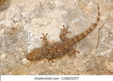 Tarentola mauritanica, Moorish Wall Gecko, lizard from Gargano, Italy. Animal in the habitat, white rock in hot sunny day. Wildlife  scene from European nature.