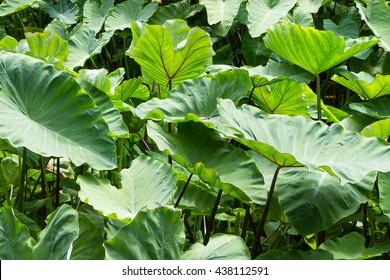 taro, dasheen, cocoyam (Colocasia esculenta var. aniquorum, C. antiquorum var.esculenta).