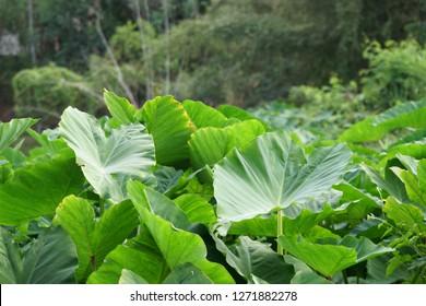 taro or Elephant ear, Colocasia esculenta