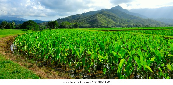 Taro farming in Kauai Hawaii