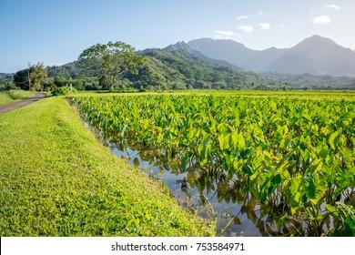 Taro fields at the base of mountains near Hanalei on Kauai, Hawaii