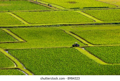Taro fields near the historic Haraguchi Rice Mill on Kauai, Hawaii. The fields are illuminated by sunlight filtering through storm clouds. The fields are irrigated with water from the Hanalei River.