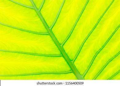 taro leaves feature