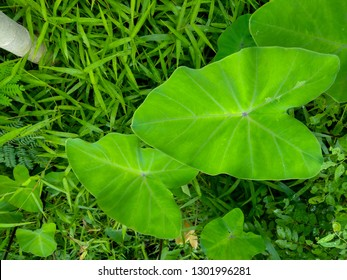 taro leaves that grow between the grasses, Colocasia esculenta Plants, background of grass with taro leaves, Colocasia esculenta leaves natural green background